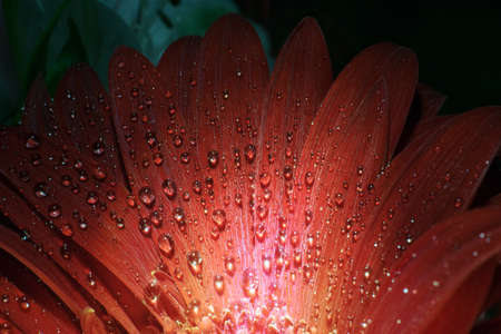 flower of red gerbera with drops of water on petals close-up Stock Photo
