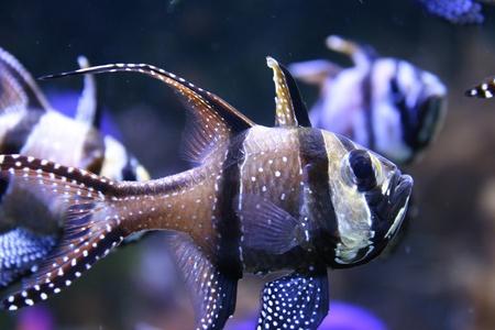 aquarist: Banggai Cardinalfish in a aquarium Stock Photo