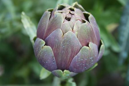 Close-up macro of artichoke with copyspace