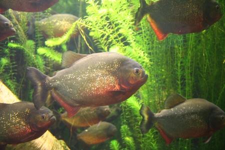 Picture of Shoal of piranhas swimming in aquarium (Genova Italy) Stock Photo