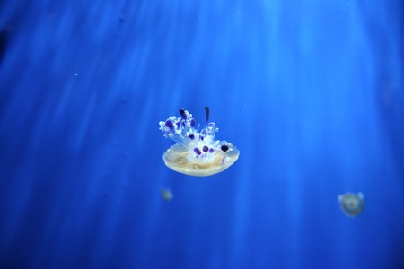 Picture of Mediterrainian jellyfish photo