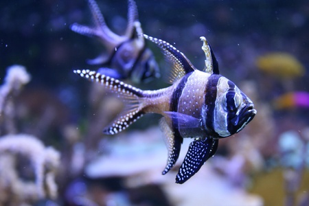 Banggai Cardinalfish in a aquarium photo