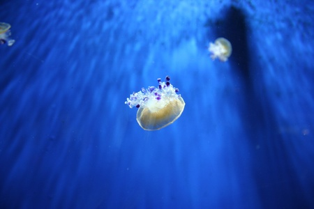 Picture of Mediterrainian jellyfish Stock Photo - 13025770