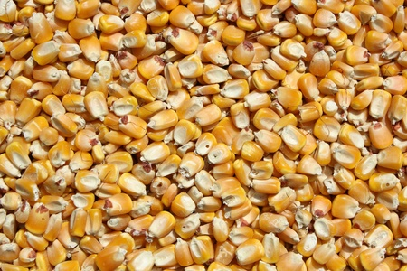 mealie: Background of yellow maize exposed in sunlight