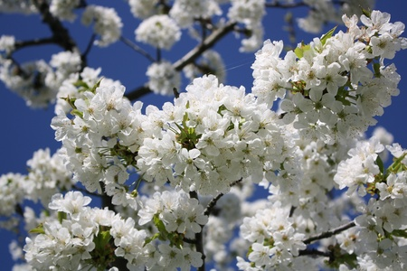 hanabi: A blossoming cherry tree with a clear sky as background