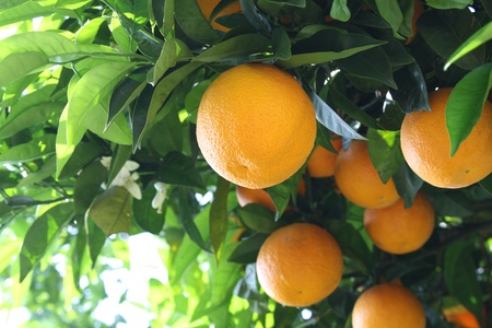 Orange tree with fruits in shining sun  Naples Italy
