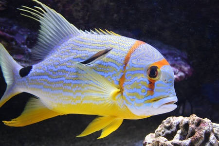 Threadfin snapper fish in a aquarium  sailfin snapper, blue-lined sea bream, Symphorichthys spilurus  Stock Photo