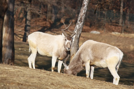 ruminants: Two addax antelopes feeding on meadow