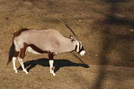 quadruped: Gemsbok with a typically beautiful black and white mask Stock Photo