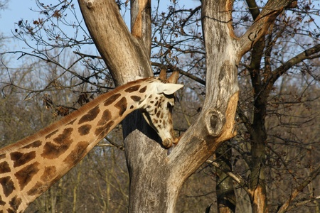 herbivore natural: Picture of a Giraffe Licking a Tree