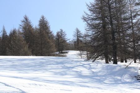 bardonecchia: Picture of a frozen forest in winter  Bardonecchia, Italy
