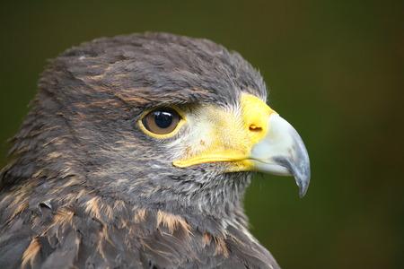 falconidae: Closeup of a buzzard of harris Stock Photo