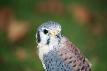 Closeup of a buzzard of harris photo