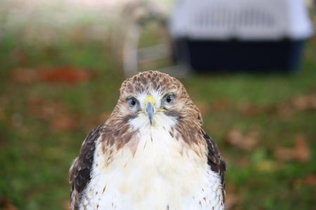 Closeup of a Redtailed Hawk