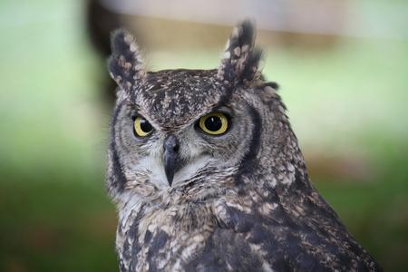 Closeup of an African Owl
