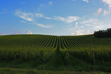 Vineyards in the Italian countryside (Umbria Italy)