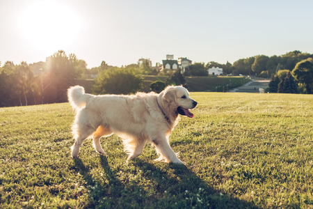 Beautiful dog golden retriever outdoors. Walking on green grass in sunny day in the park.