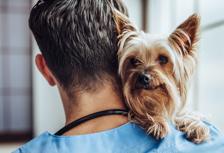 Handsome male doctor veterinarian at clinic with little dog Yorkshire Terrier. Stock Photo