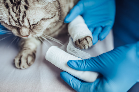 Cropped image of doctor veterinarian is examining cute grey cat at vet clinic. Rewinding cat's paw by bandage. 스톡 콘텐츠