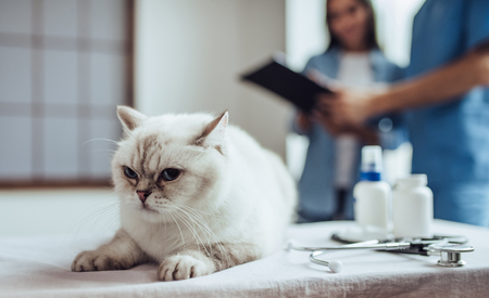 Handsome doctor veterinarian at clinic is examining cute cat while his owner is standing nearby. Cute cat is lying on vet table on the foreground.