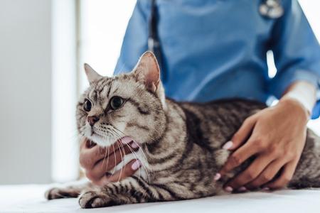 A imagem colhida do veterinário fêmea bonito do doutor com estetoscópio está examinando o gato cinzento bonito na clínica do veterinário. Foto de archivo - 90539620