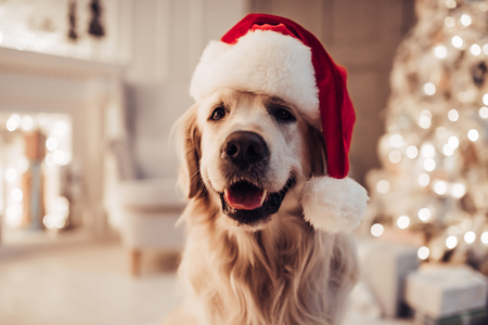Merry Christmas and Happy New Year! Cheerful dog labrador is sitting in Santa Claus hat. Golden retriever is waiting for the holiday at home. Zdjęcie Seryjne - 90531980