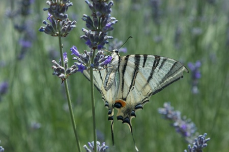 lavanda: Butterfly with open wings eating nectar from lavanda flower close-up