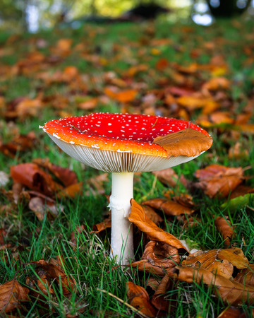 A toadstool, fly agaric, amanita muscaria, growing on grassland, covered in autumn colors Imagens