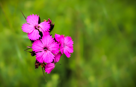 Close up of flowers of the Dianthus genus. The bright and stunning pink colour creates great contrast from the green grassland behind.