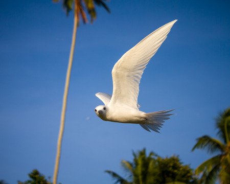 A fairy tern hovering in a tropical setting, with coconut palms in the background.