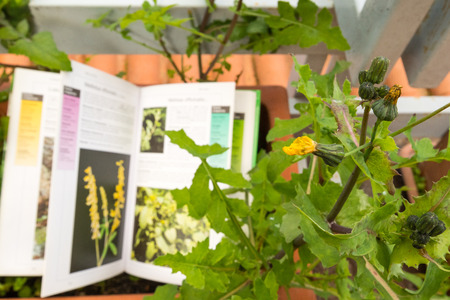 Identifying wild flower with botany field guide Stok Fotoğraf