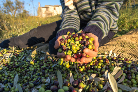 Harvested Olives iin Hand Close Up Macro working in Italian Farm