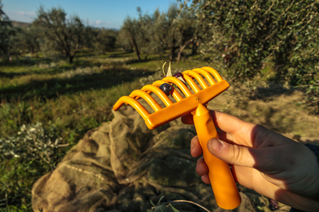 Olive Picking Rake with Dark Olive During Harvest in Italy Famland