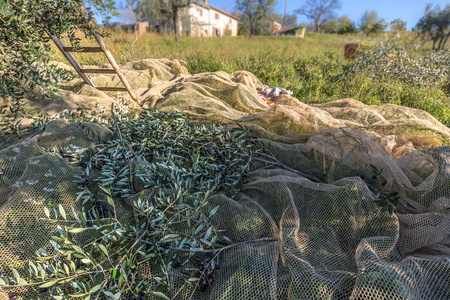 Olive Harvest In Italian Olive Tree Plantation  Branches on Net Banque d'images