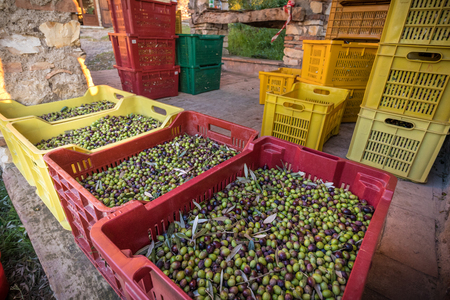 Baskets with Full harvest of olives from Italian Organic Farm Close ups Banque d'images