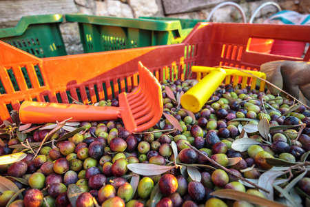 Baskets with Full harvest of olives from Italian Organic Farm Close ups With rakes Banco de Imagens
