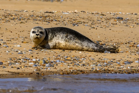 Young seal on sandy beach looking at camera Stock Photo