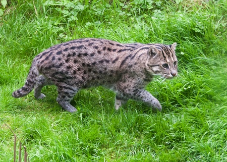 Fishing Cat walking in grass