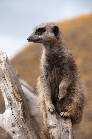 Meerkat perched on a dead tree Stock Photo