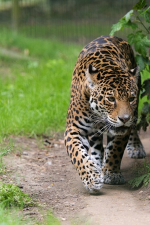 Jaguar Cat Stock Photo