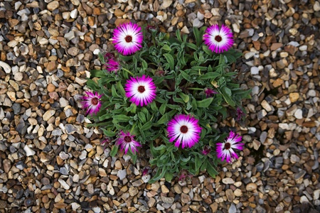 Purple and white flower on a gravel bed