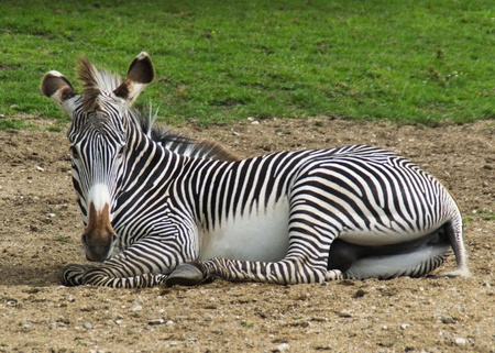 Male Zebra laying on ground looking at camera Stock Photo