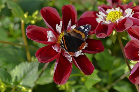 Red Admiral Butterfly on a flower