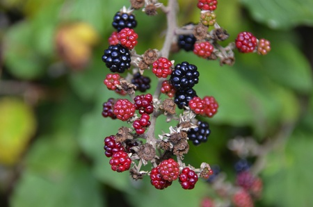 ripe and un-ripe blackberries on the bush