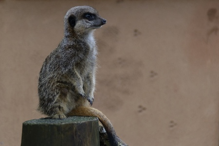 Meerkat sitting on a log looking to the right