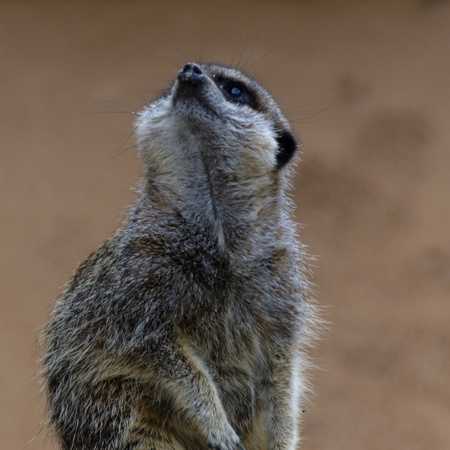 Meerkat looking upwards