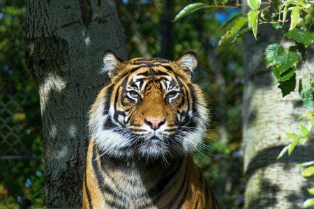 Tiger looking at camera in afternoon sun Stock Photo