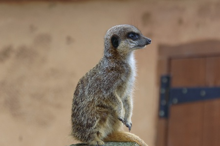 Meerkat sitting on a rock looking to the right