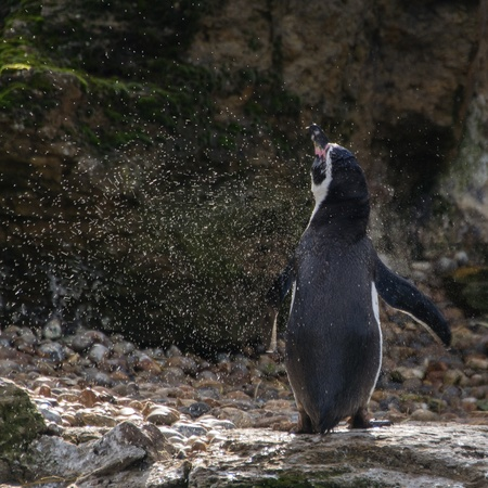 Penguin shaking water off Stock Photo