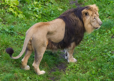 Ovehead view of a Lion standing in grass Stock Photo